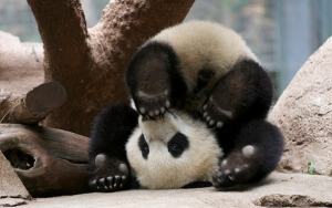 This panda came up when I looked up Yoga Fail. I don't think he failed at all. He is just adorably practising plow pose.