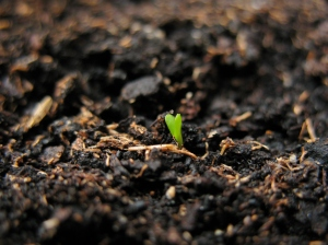 We are beginning to sprout above the ground! Yay!  Picture Source